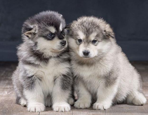 mua bán chó Alaska - Chợ Tốt