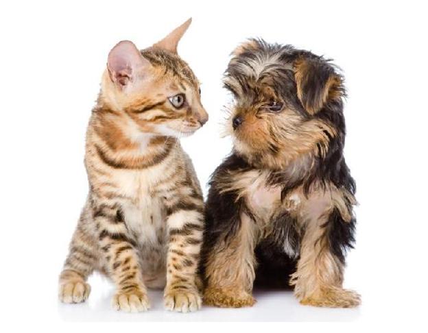 vật nuôi thú cưng mèo cảnh chó cảnh