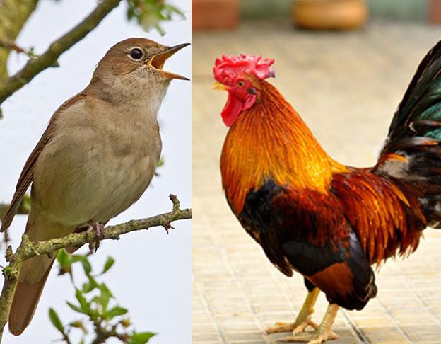 mua bán gà chọi, chim cảnh thú cưng