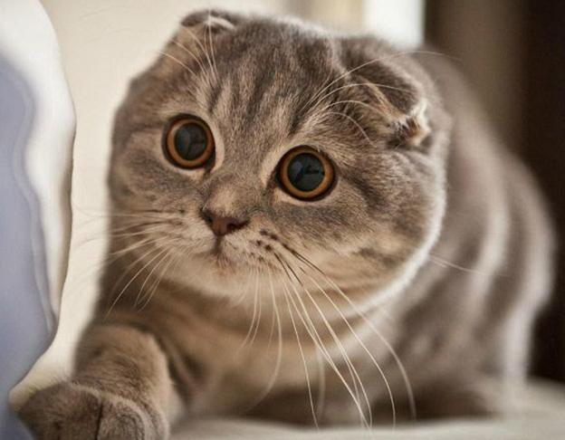 mèo Scottish Fold tai cụp