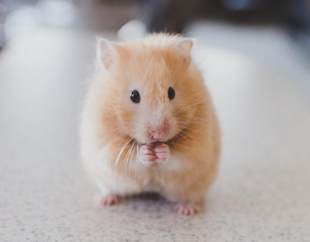 chuột Hamster dễ thương