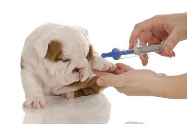 Tiêm vaccine đúng cách để phòng bệnh cho chó