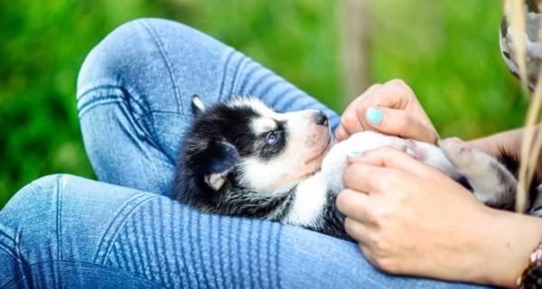 Môi trường sạch sẽ khi nuôi husky