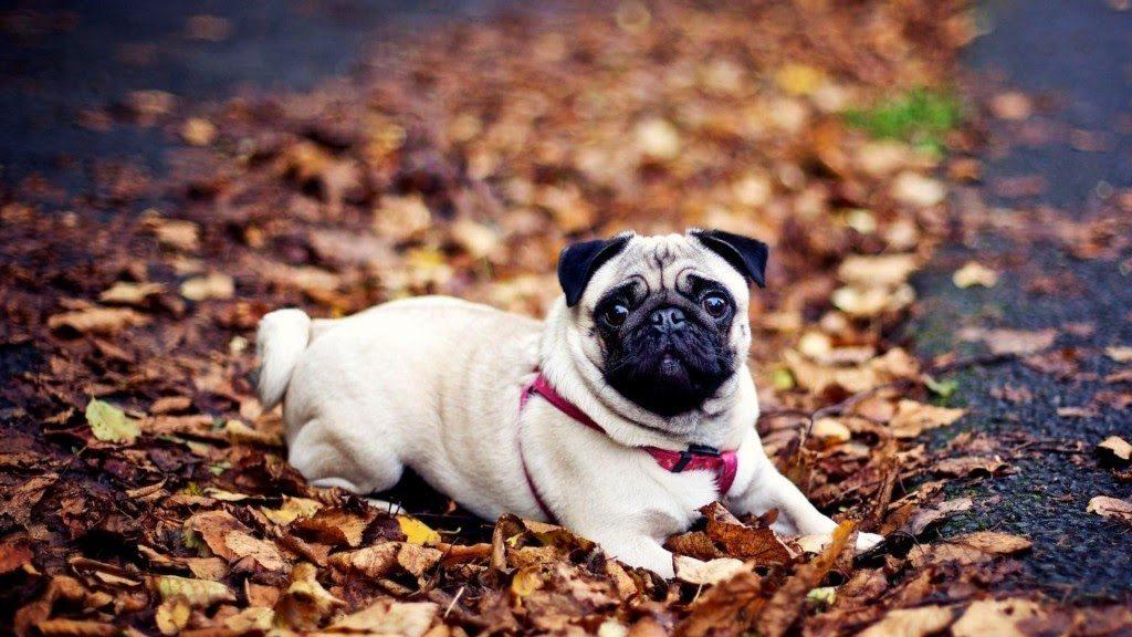 Chó Pug giá bao nhiêu phụ thuộc vào nguồn gốc của chúng