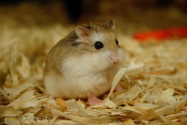 Chủ động phòng tránh các bệnh hay mắc để bé Hamster luôn khỏe mạnh