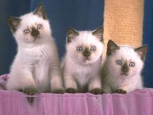 Mèo Anh lông ngắn châu âu