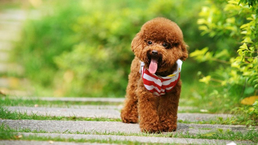 Toy poodle nâu đẹp
