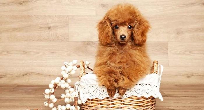 Giá chó Miniature Poodle màu nâu đẹp