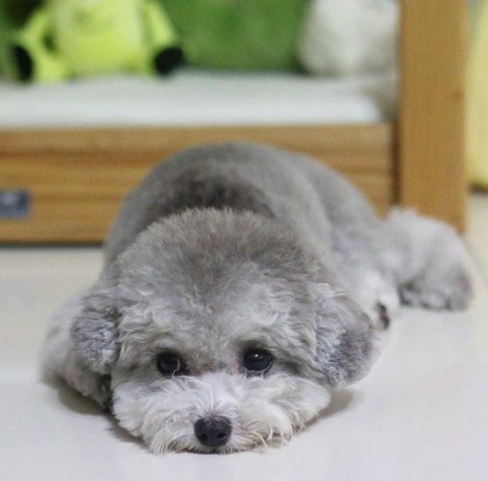 Cách nuôi chó Poodle xám 2 tháng tuổi
