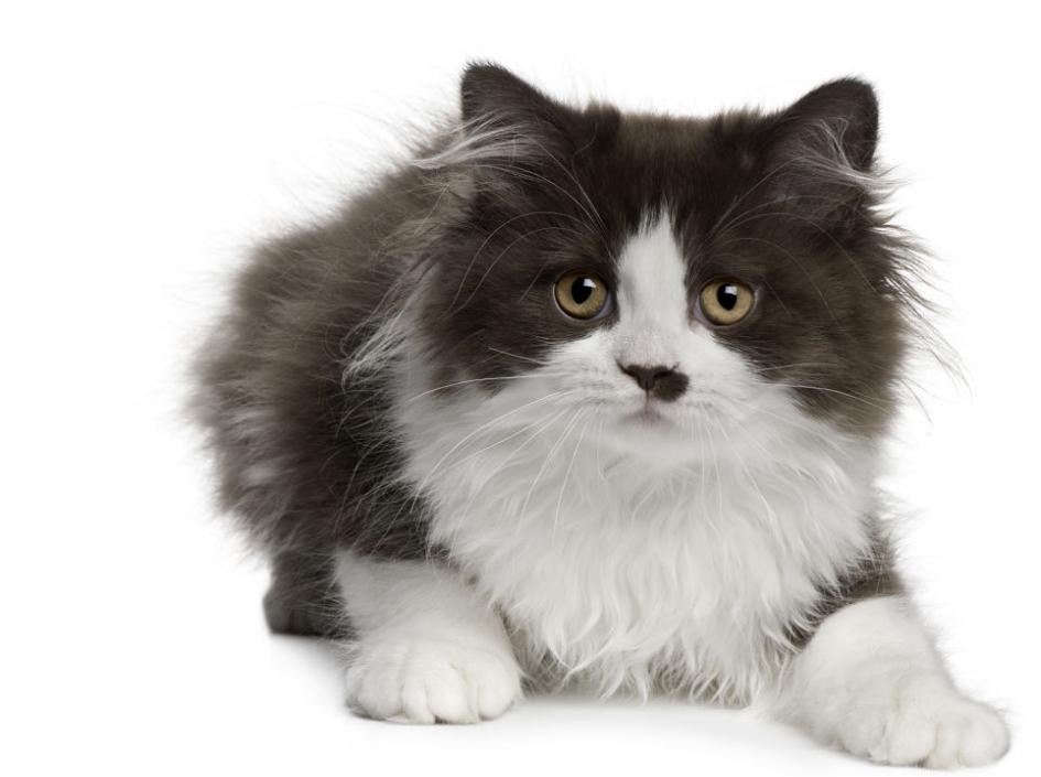Mèo Anh lông dài sở hữu vẻ ngoài đẹp mắt, bộ lông di truyền của mèo Ba Tư