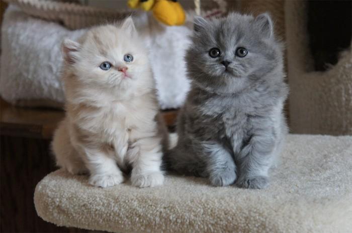 """Mèo Anh lông dài sở hữu cân nặng """"khủng"""" ngay từ lúc mới sinh ra đời"""