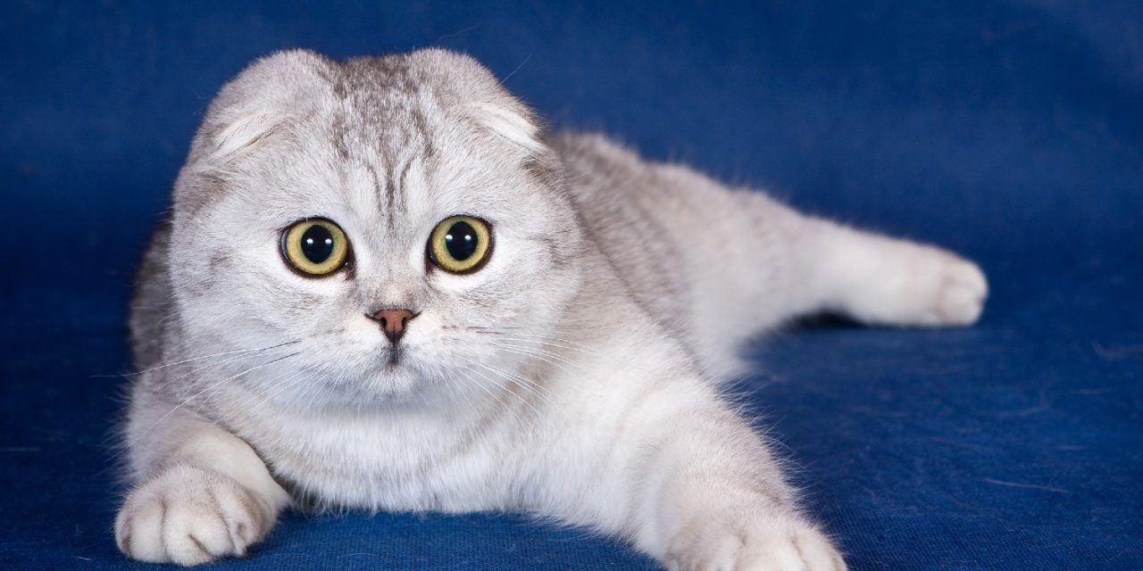 mèo thuần chủng