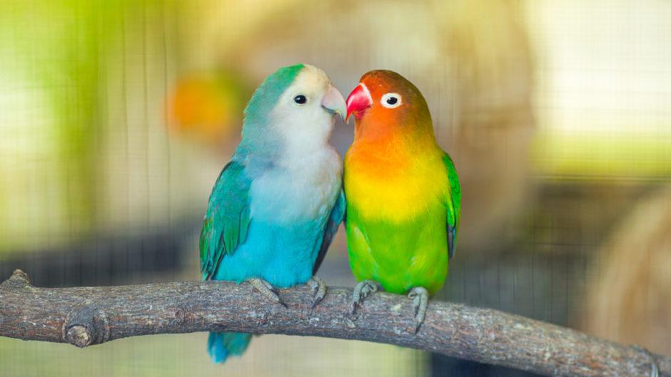 Vẹt lovebird giá bao nhiêu? Hướng dẫn nuôi vẹt lovebird đúng cách