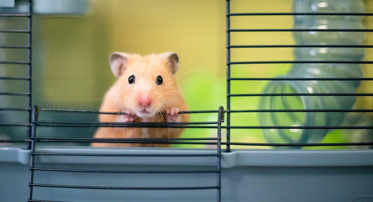 Mua chuột Hamster ở đâu? Cách chọn mua Hamster