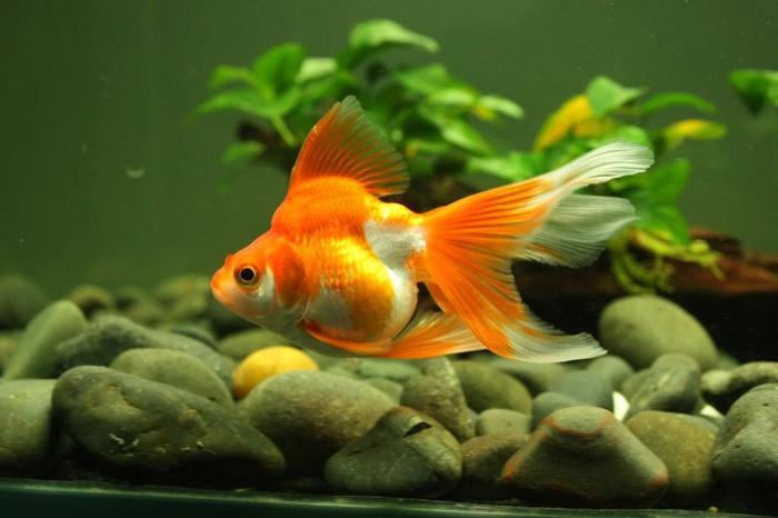 Hướng dẫn cách nuôi cá 3 đuôi không cần oxy cực đơn giản