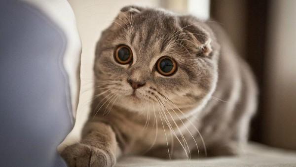 Nguồn gốc mèo Scottish Fold tai cụp