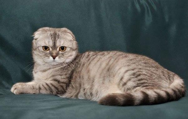 Chăm sóc mèo Scottish tai cụp