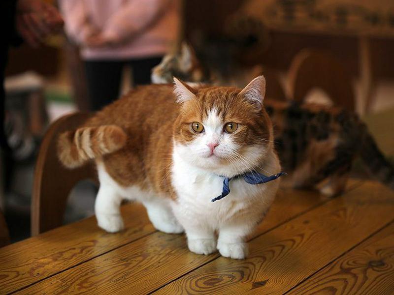 Nhìn là mê mẩn với list các giống mèo chân ngắn đáng yêu này