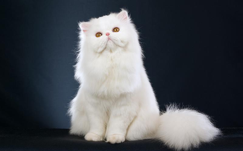 List các giống mèo quý được săn đón nhiều nhất hiện nay