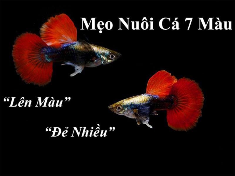 Chia sẻ cách nuôi cá bảy màu từ A- Z đảm bảo phát triển tốt