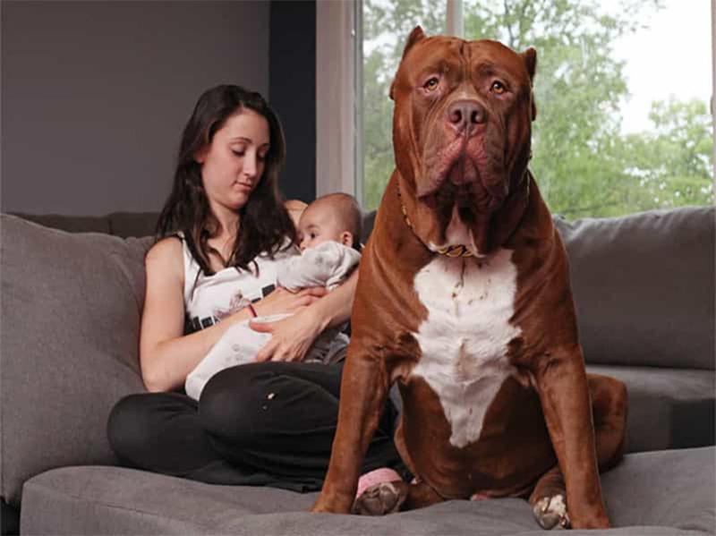 Tất tần tật cách nuôi chó Pitbull đảm bảo sức khỏe tốt nhất