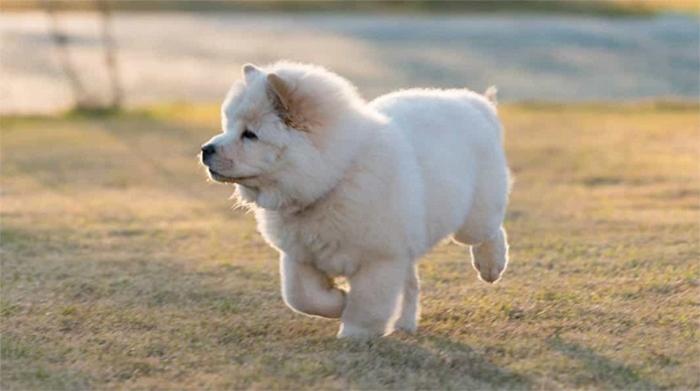 Chạy bộ giúp chó Chow Chow rèn luyện sức khỏe và không bị béo phì