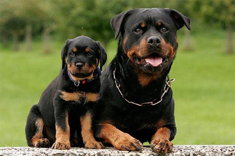 Hướng dẫn cách nuôi chó Rottweiler đúng chuẩn