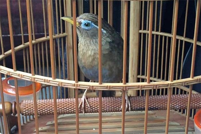 Lồng cho chim Họa Mi nên rộng rãi, thiết kế phù hợp