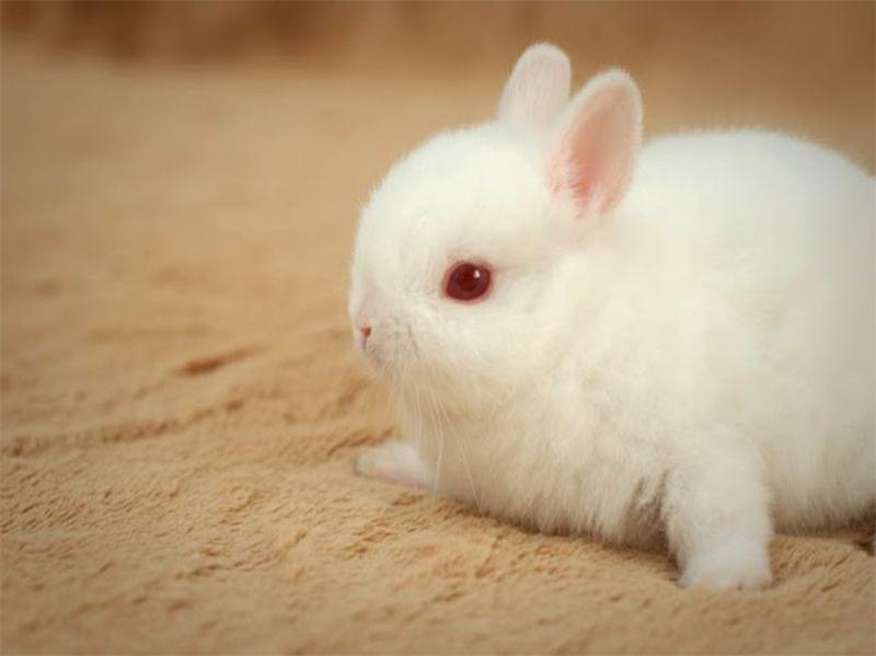Từ A – Z cách nuôi thỏ cảnh đúng cách cho người mới