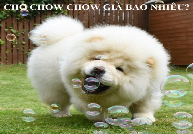 Chó Chow Chow giá bao nhiêu? Đặc điểm nổi bật nhất