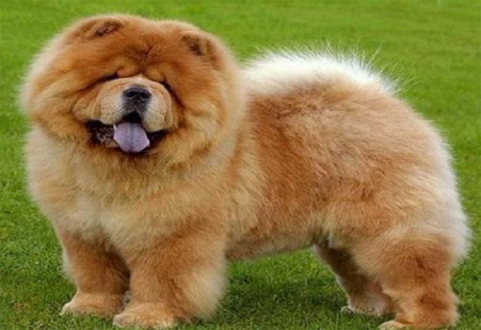 Chó Chow Chow đặc trưng bởi bộ lông xù, dày