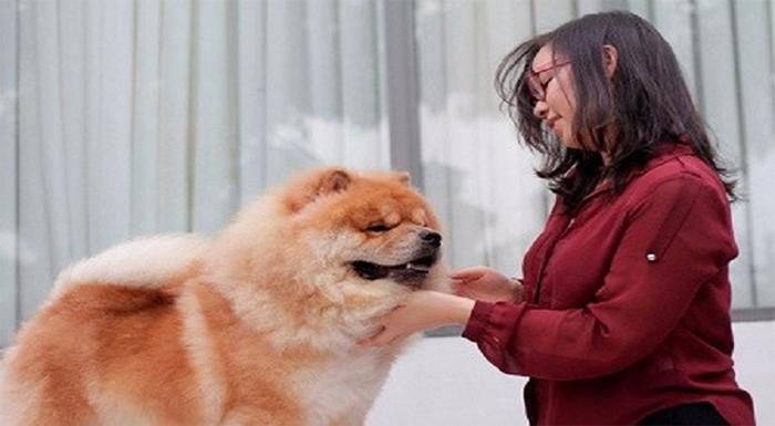 Chó Chow Chow rất biết nghe lời và trung thành với chủ