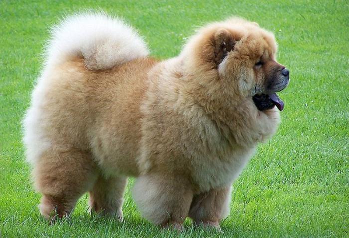 Một chú chó Chow Chow lông xám nhập khẩu từ Nga