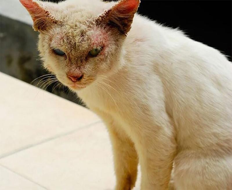 Cách phòng ngừa và điều trị mèo bị viêm da có khó không?