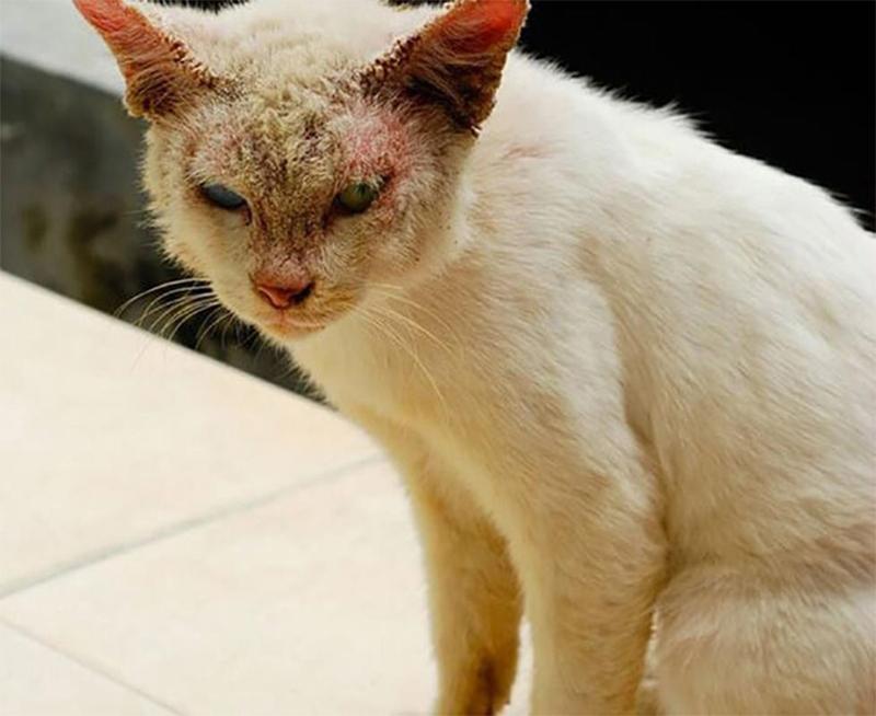 Hướng dẫn cách nhận biết và điều trị bệnh mèo bị viêm tai
