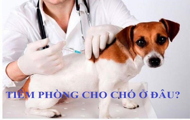 Tiêm phòng cho chó ở đâu? Một số dịch vụ tiêm phòng uy tín