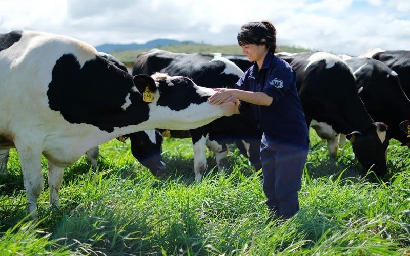 Vinamilk Thanh Hóa tuyển dụng công nhân chăn nuôi bò sữa