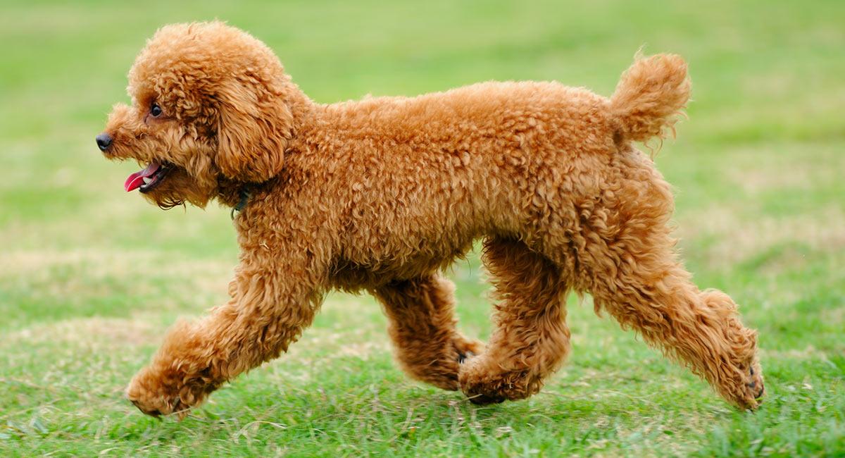 Chó Toy Poodle được nuôi rất phổ biến ở Việt Nam