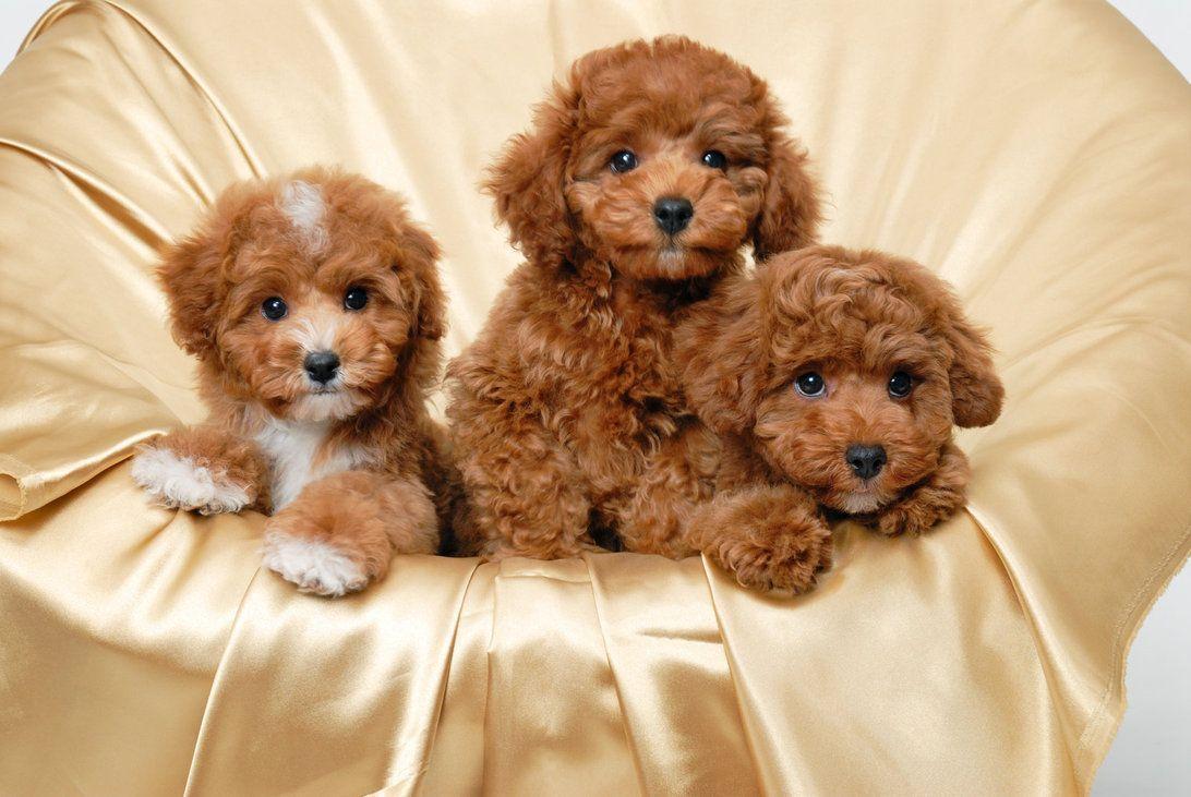 Lưu ý thường xuyên vệ sinh và tỉa lông cho Poodle