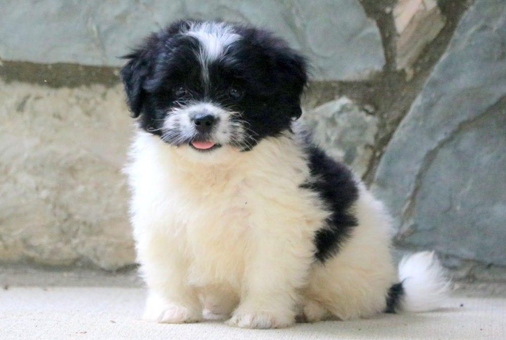 Một chú chó Poodle lai Bắc Kinh dễ thương