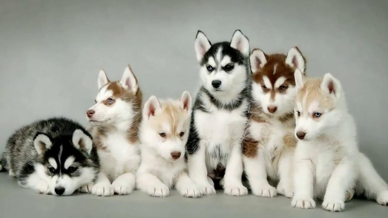 Những chú Husky con đáng yêu trên Chợ Tốt đang đợi bạn đón về