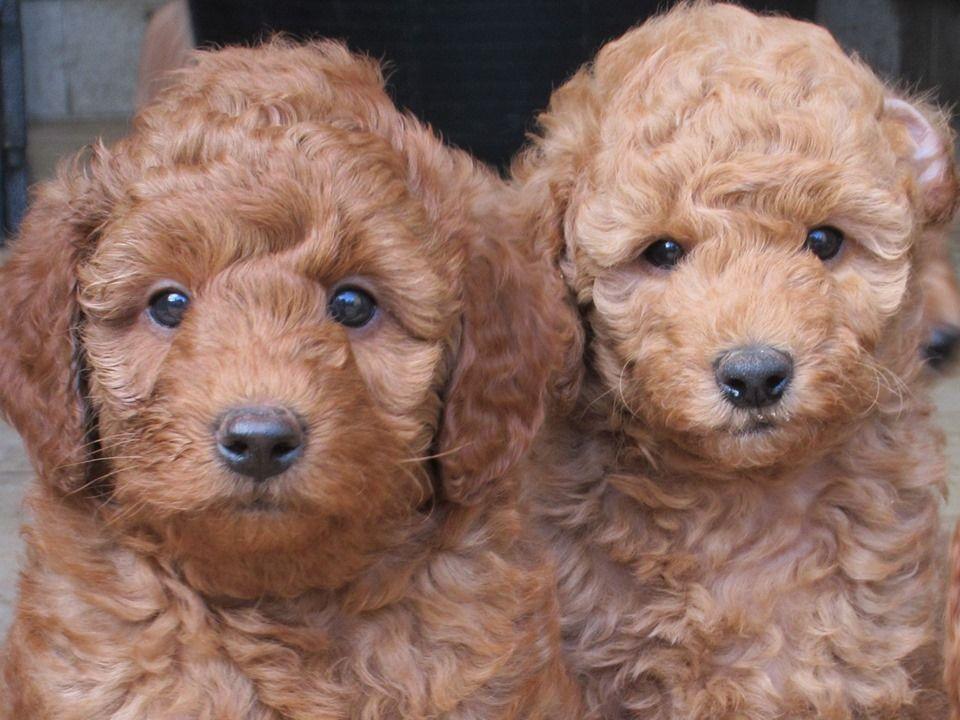 Chó Poodle còn được biết đến là chó săn vịt
