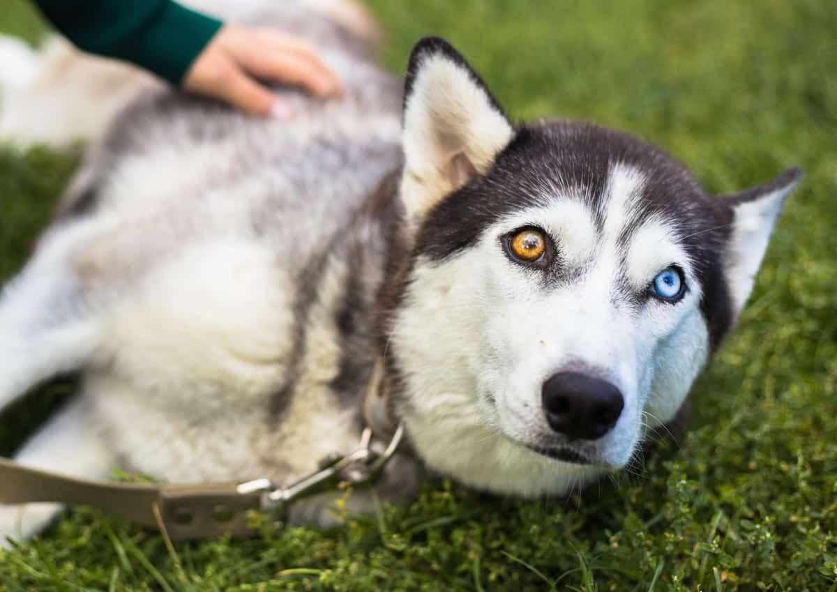Chó Husky mắt hai màu hiếm gặp