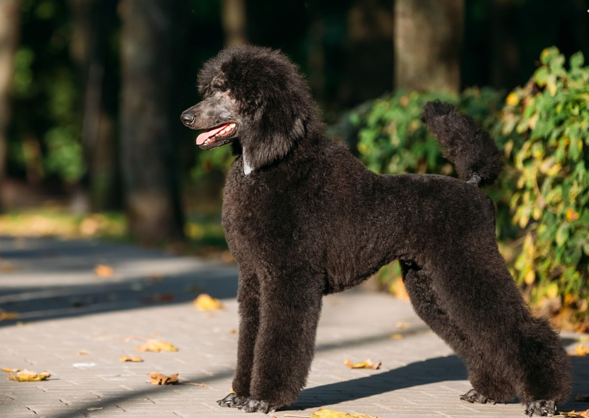 Chó Standard Poodle là dòng chó lớn nhất trong dòng họ chó săn vịt