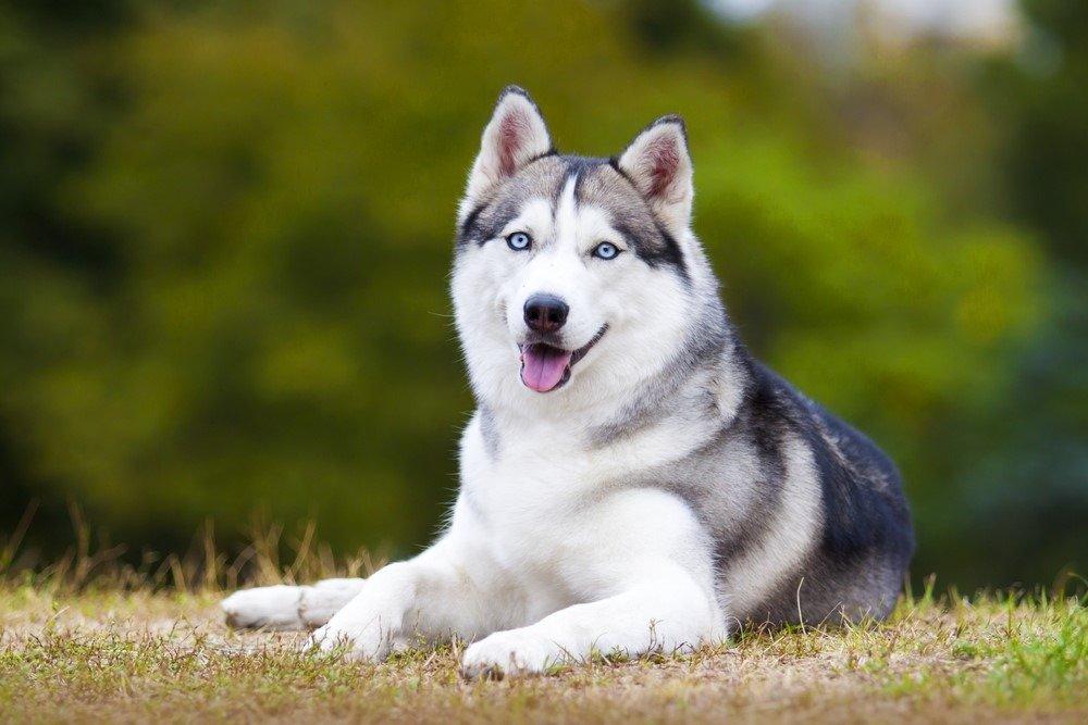 Chó Husky có nguồn gốc từ vùng Đông Bắc Sibir nước Nga