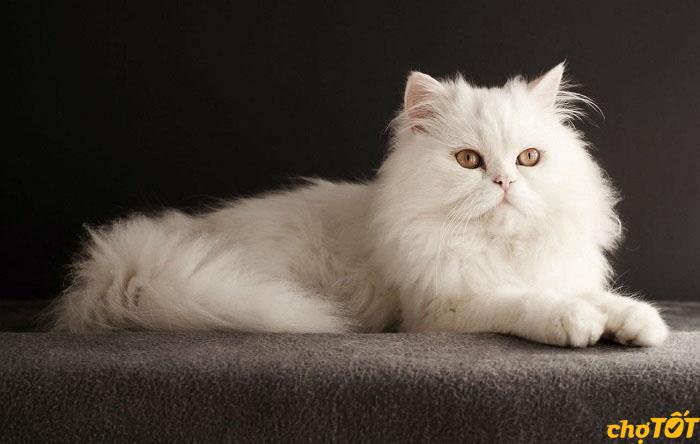 Chăm sóc lông và móng cho mèo Ba Tư