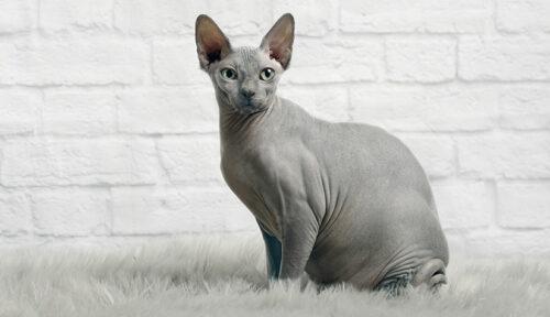 Giống mèo Sphynx không lông huyền bí, có nên nuôi hay không?