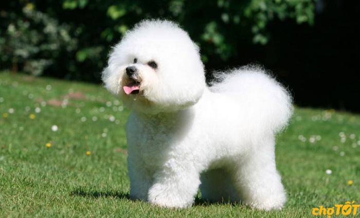 Sổ giun định kỳ cho chó Bichon