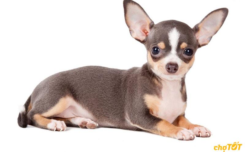 Chihuahua rất hay tỏ ra ghen tị khi không được quan tâm