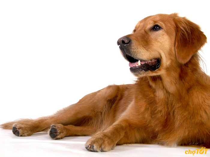 Chó Golden thuần chủng
